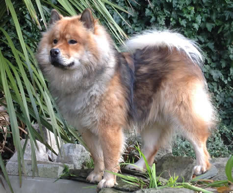 Eurasier in a garden